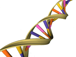 DNA-Doppelhelix (http://commons.wikimedia.org/wiki/File:DNA_Double_Helix.png)